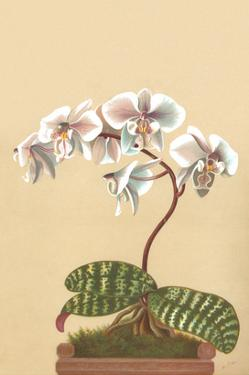 Phalenopsis Schilleriana by H.g. Moon