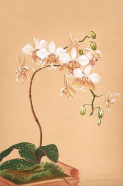 Phalenopsis Stuartiana; Philippine Orchid by H.g. Moon
