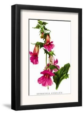 Rehmannia Angulata by H.g. Moon
