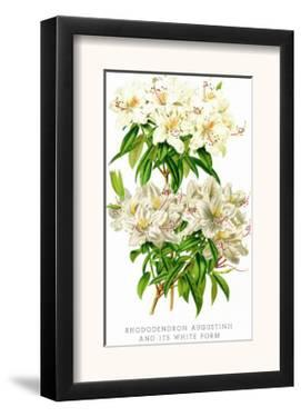 Rhododendron Augustinii and Its White Form by H.g. Moon
