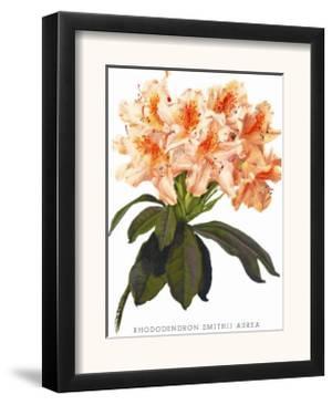 Rhododendron Smithii Aurea by H.g. Moon