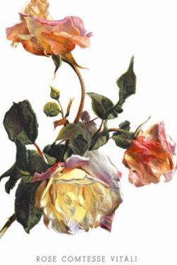 Rose Comtesse Vitali by H.g. Moon