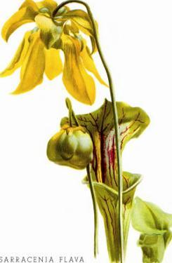 Sarracenia Flava by H.g. Moon