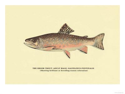 The Brook Trout, Showing Brilliant or Breeding Season Coloration