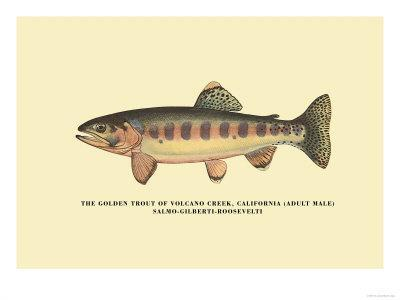 The Golden Trout of Volcano Creek