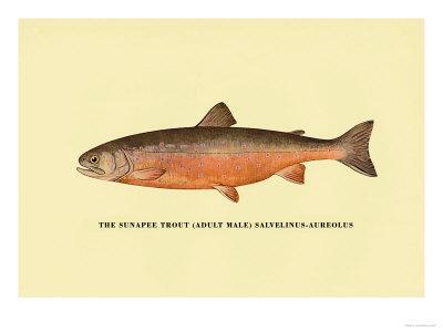 The Sunapee Trout