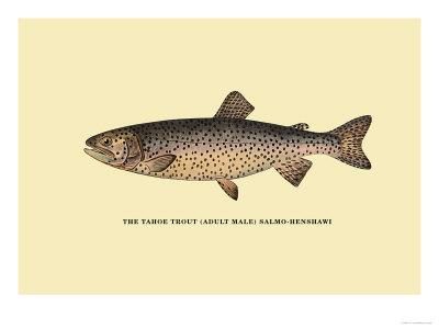 The Tahoe Trout