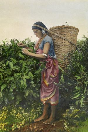 A Woman Plucks Tea to Sell at the Market by H.M. Herget