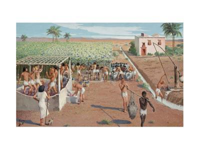 Laborers Harvest Grapes and Press Them under Watchful Eye of Owner by H.M. Herget