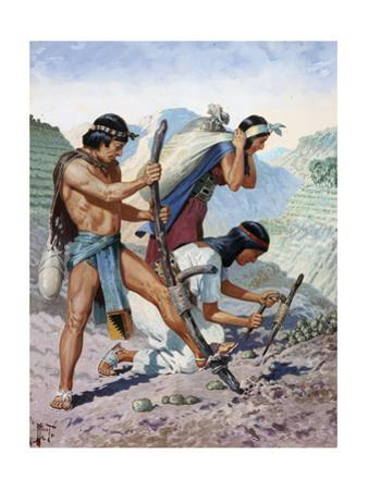 Native Peruvians Gather Potatoes from their Terraced Farms by H.M. Herget
