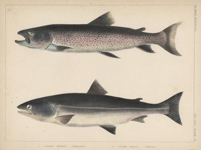 1. Salmo Perryi (Reduced), 2. Salmo Masou (Reduced), 1855 by H. Patterson