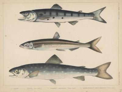 1. Salmon, 2. Osmerus Japonicus, 3. Salmo (Fario) Leucomaenis, 1855 by H. Patterson