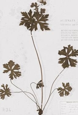 Pressed Meadow Flower II by H. T. Shores