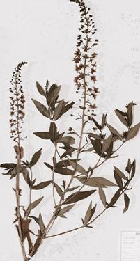 Pressed Meadow Flower V by H. T. Shores