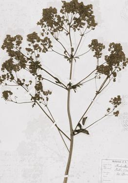 Pressed Meadow Flower VI by H. T. Shores