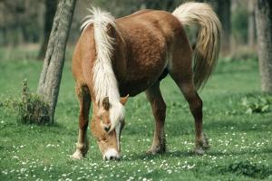 Haflinger Horse Pony, Mare