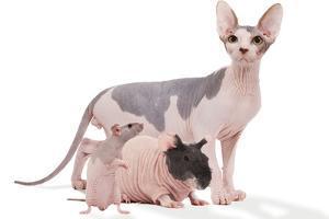 Hairless Animals Sphinx Cat, Guinea Pig and Rat