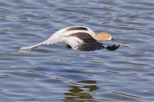 American Avocet Flying by Hal Beral
