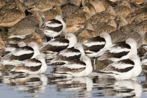 American Avocts,Marbled Godwits and Willets Sleeping by Hal Beral