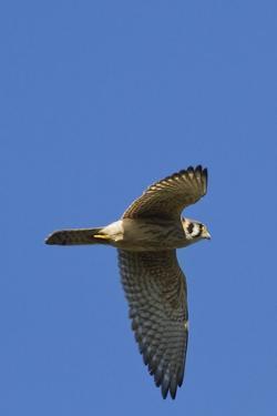 American Kestrel in Flight by Hal Beral