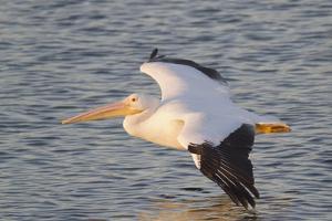 American White Pelican Flying by Hal Beral