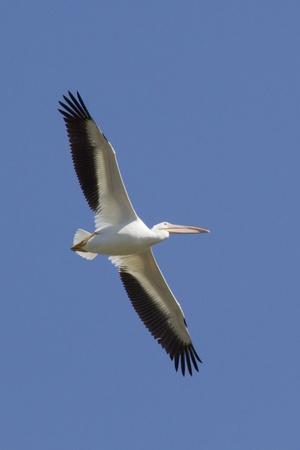 American White Pelican Flying