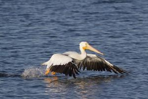 American White Pelican Takes Off by Hal Beral