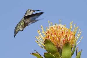 Anna's Hummingbird Feeding by Hal Beral