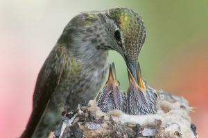 Anna's Hummingbird Feeds Her Chcks in the Nest by Hal Beral