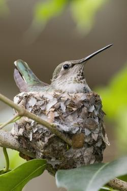 Anna's Hummingbird Sits on Eggs in Her Nest by Hal Beral