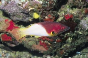 Axilspot Hogfish by Hal Beral