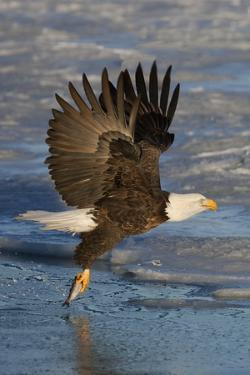 Bald Eagle Catchs a Fish in it's Talons by Hal Beral