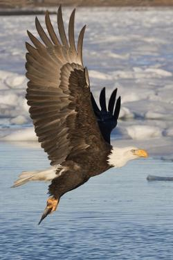 Bald Eagle with Fish in it's Talons by Hal Beral