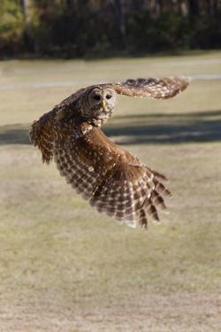 Barred Owl in Flight by Hal Beral