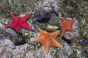 Bat Stars with Purple Sea Urchins by Hal Beral