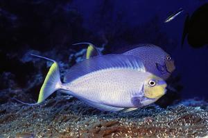 Bignose Unicornfish by Hal Beral