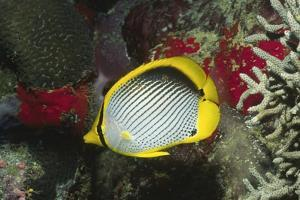 Black-Backed Butterflyfish by Hal Beral