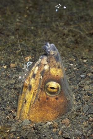 Black-Finned Snake Eel Being Cleaned by a Shrimp