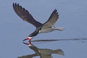 Black Skimmer Skimming by Hal Beral