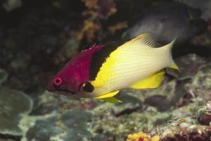 Blackbelt Hogfish by Hal Beral