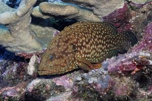 Bluespotted Grouper by Hal Beral