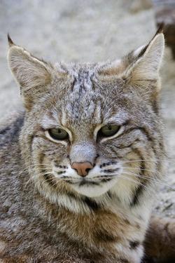 Bobcat Closeup by Hal Beral