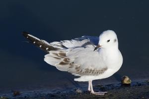 Bonaparte's Gull by Hal Beral