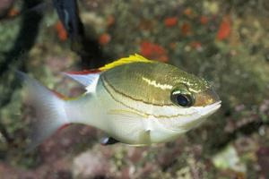 Bridled Monocale Bream by Hal Beral