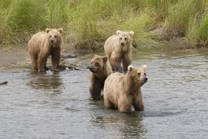 Brown(Grizzly) Bear Mother and Two Year Old Cubs by Hal Beral