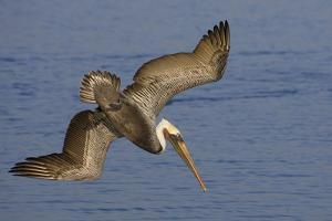 Brown Pelican Diving by Hal Beral