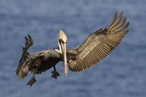 Brown Pelican Landing by Hal Beral