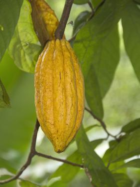 Cacao Tree Pod (Theobroma Cacao) the Seeds of Which are Used to Make Chocolate, Kerala, India by Hal Beral