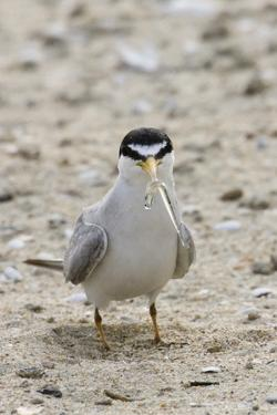 California Least Tern with Fish in it's Bill by Hal Beral