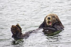 California Sea Otter by Hal Beral